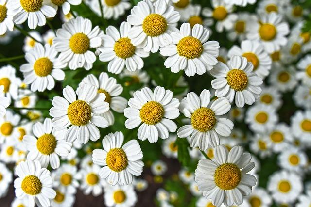 heřmánek květina